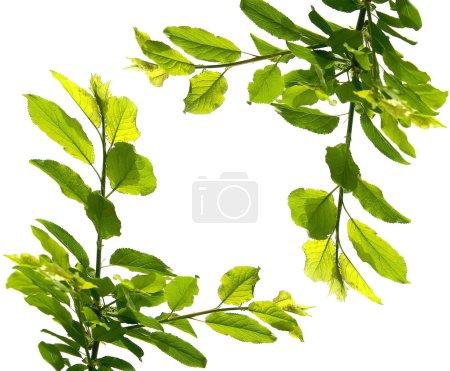 Foto de Rama de un árbol sobre blanco - Imagen libre de derechos