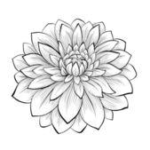 beautiful monochrome black and white dahlia flower isolated on white background