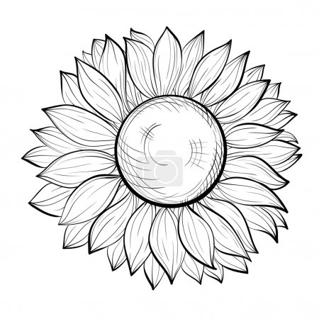 beautiful black and white sunflower isolated on white background