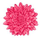 beautiful pink dahlia isolated on white background