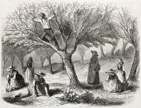 Photo pour Vieille illustration de la récolte d'oliviers près de Toulon, France. Créé par Gaildrau, publié sur L'Illustration Journal Universel, Paris, 1857 - image libre de droit