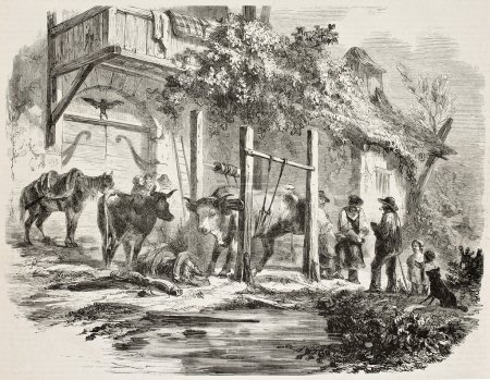 Shoeing oxen