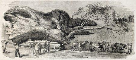 Photo pour Transport d'un grand chêne à pompogne, près de casteljaloux, france. créé par ducros, publié sur l'illustration, journal universel, paris, 1860 - image libre de droit