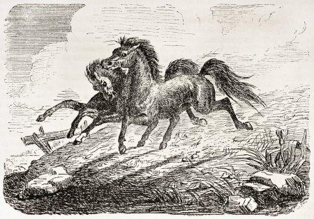 Siamese twin horses