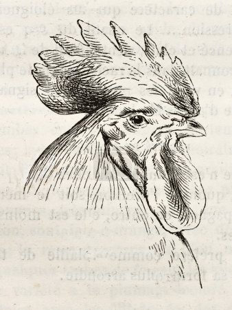Dorking chicken ter