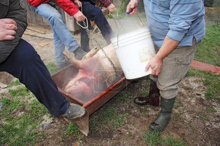 Photo pour Slaughtered pig watered with hot water to remove hair - image libre de droit