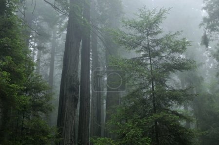 Photo pour Paysage de forêt côtière de séquoias, prairie creek state park, Californie, Etats-Unis - image libre de droit