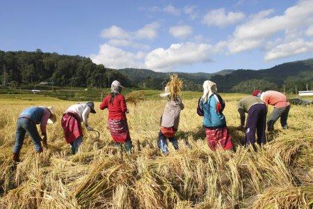 Photo pour Tribu Kaen récolte du riz à chiangmai Thaïlande - image libre de droit