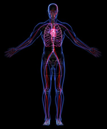 Photo pour Squelette humain et le système circulatoire - image libre de droit