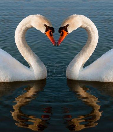 Photo pour Deux cygnes en forme de coeur - image libre de droit