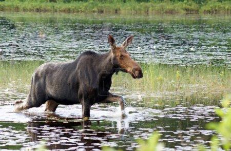 Самка лося проходит через болото.
