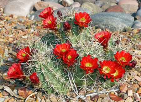 Photo for The claret-cup cactus, also called the strawberry cactus, blooms in the rock garden in the Arizona springtime. - Royalty Free Image