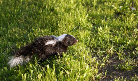 Young baby skunk