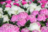 Růžové a bílé lotus