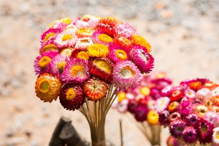 Colorful Helichrysum...