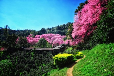Cherry Blossom Pathway with Coffee trees