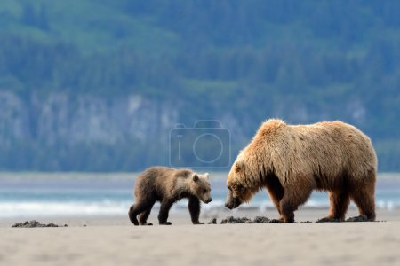 Mother Grizzly Bear with cub feeding on clamps...