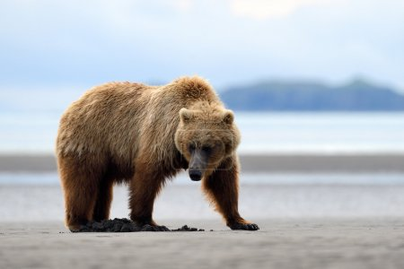 Grizzly Bear foraging on beach...