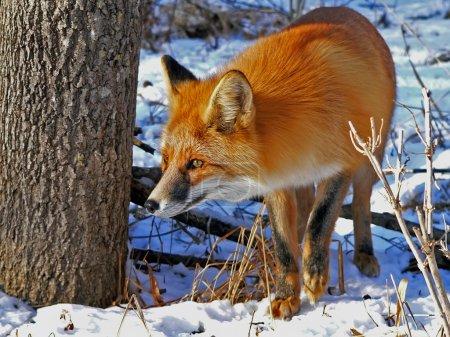 Photo pour Le renard roux s'élève à un arbre. coup de œil attentif. hiver et neige. - image libre de droit