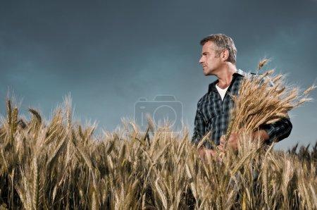 Photo pour Fermier mature regardant avec satisfaction son champ cultivé avec un bouquet de blé mûr après une journée de travail sous un ciel dramatique - image libre de droit