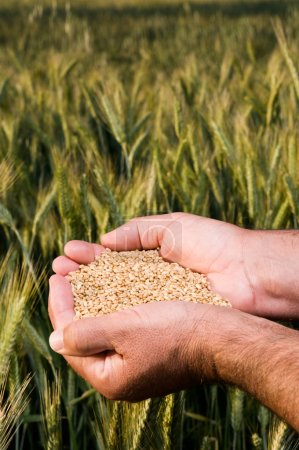 Hands full of wheat seeds