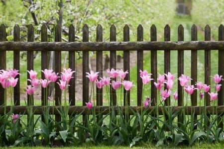 Photo pour Tulipes roses à la clôture de jardin - mise au point manuelle - image libre de droit
