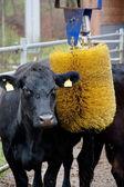 Masážní přístroj ve stodole kráva