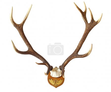 antlers of a huge stag isolated