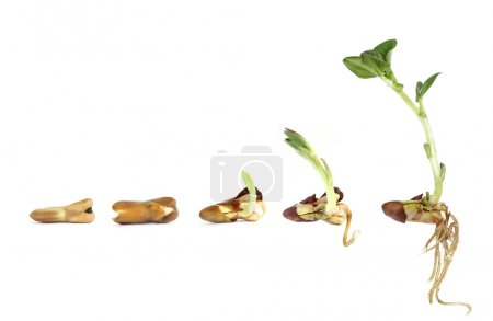 Horse Bean plant growing from a seed to a seedling