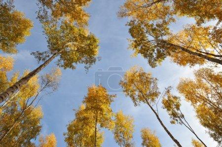 Photo pour Couleurs d'automne sur les bouleaux prises d'en bas - image libre de droit