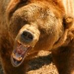 Grizzly Bear (Ursus arctos)....