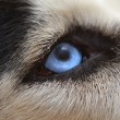 Malicious wolf sight of eyes close up...
