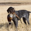 Drahthaar Hunting dog with a pheasant...
