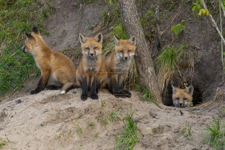 Photo pour Jeune renard roux à ou près de leur tanière - image libre de droit