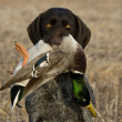 A hunting dog with a duck...