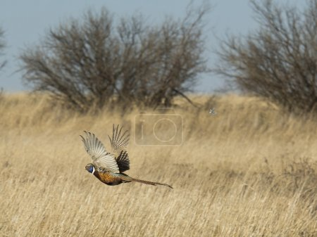 A wild flying rooster pheasant on the prairie...