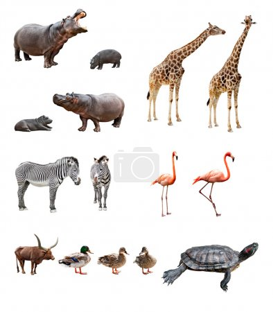Photo for Collage of african animals in front of white background - Royalty Free Image