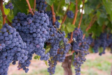 Lush Food Fruit Grape Clusters Agricultural Vine Farm Field