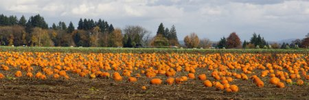 Panoramic Scene Farm Field Pumpkin Patch Vegetables Ripe Harvest