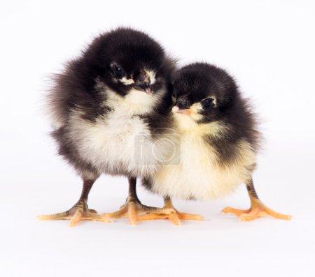 Baby Chick Newborn Farm Chickens Standing White Australorp Variety