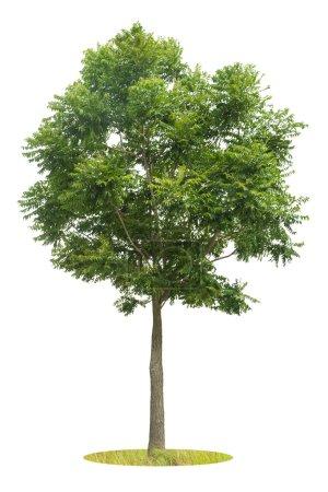 Green Tree isolated