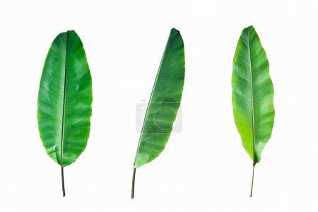 Photo for Fresh Banana Leaf Isolated on white background - Royalty Free Image