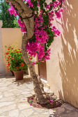 Branches of flowers pink bougainvillea bush in street, Crete, Greece