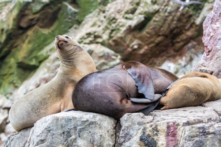 South American Sea lions relaxing on the rocks of the Ballestas Islands in the Paracas National park. Peru. Flora and fauna