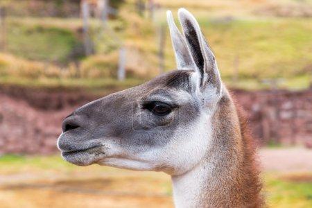 Peruvian Llama.
