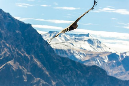 Flying condor over Colca canyon