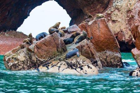 Photo pour Lions de mer d'Amérique du Sud se relaxant sur les rochers des îles Ballestas dans le parc national de Paracas, Pérou. Flore et faune - image libre de droit