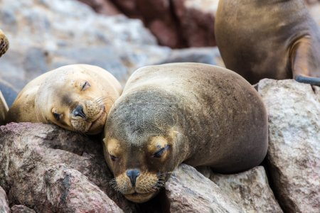 South American Sea lions relaxing on rocks of Ball...