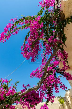 Branches of flowers bougainvillea