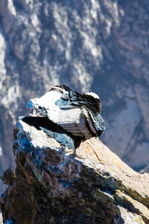 Photo for Condor at Colca canyon,Peru,South America. This is a condor the biggest flying bird on earth - Royalty Free Image